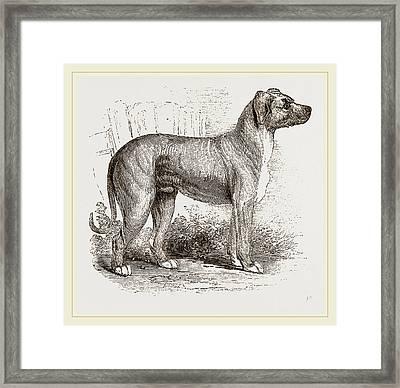 Cuban Blood-hound Framed Print