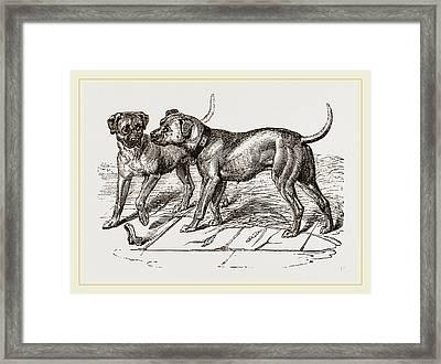 Cuban Blood-hounds Framed Print