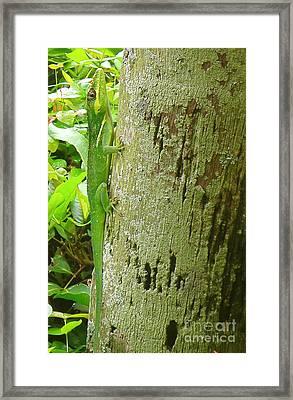 Cuban Knight Anole Lizard On A Tree Framed Print