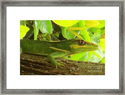 Cuban Knight Anole Lizard Framed Print