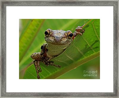 Cuban Tree Frog Framed Print