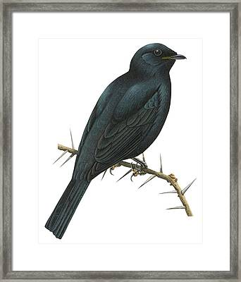 Cuckoo Shrike Framed Print by Anonymous