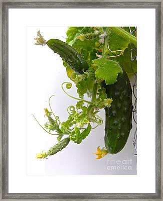 Cucumber Dance Framed Print