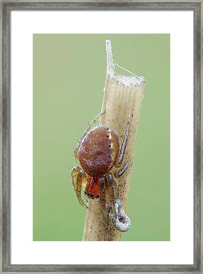 Cucumber Spiderling Framed Print by Heath Mcdonald