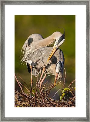Cuddling Great Blue Herons Framed Print