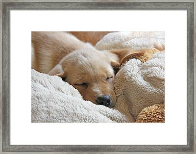 Cuddling Labrador Retriever Puppy Framed Print