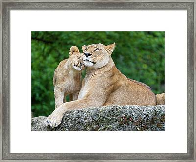 Cuddling With Mom Framed Print by Picture By Tambako The Jaguar