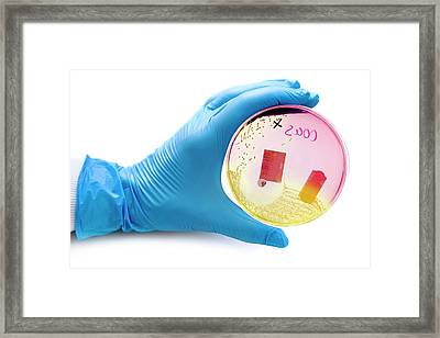 Cultured Bacteria Tested For Mrsa Framed Print by Aberration Films Ltd