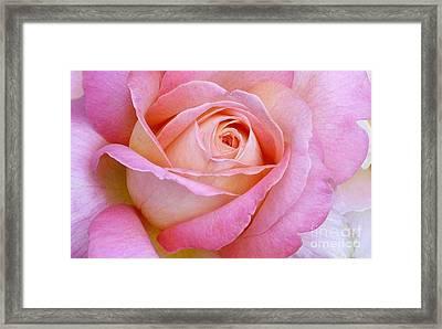 Cupid's Choice Rose Framed Print