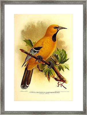 Curacao Oriole Framed Print by Rob Dreyer