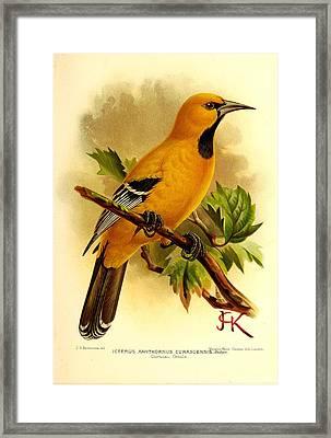 Curacao Oriole Framed Print
