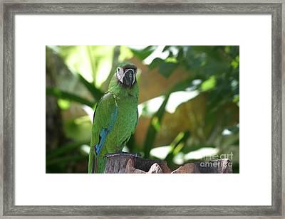 Curacao Parrot Framed Print