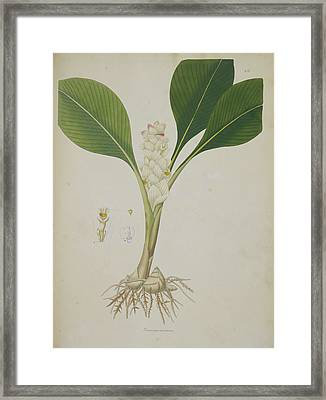 Curcuma Montana Framed Print by British Library