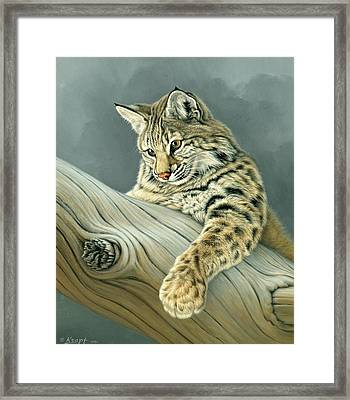 Curiosity - Young Bobcat Framed Print by Paul Krapf