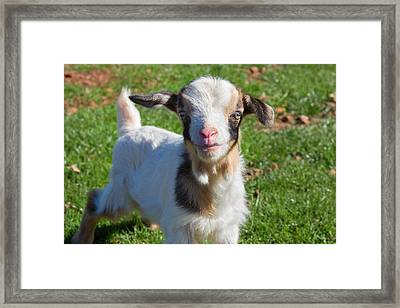Curious Baby Goat Framed Print