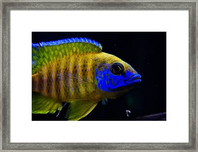 Curious Blue Framed Print by Celestial Images