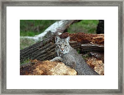 Curious Bobcat  Framed Print by Jean Clark