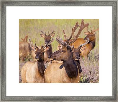 Framed Print featuring the photograph Curious Bull Elk by Todd Kreuter