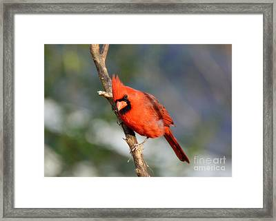 Framed Print featuring the photograph Curious Cardinal by Lisa L Silva