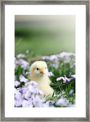 Curious Chick Framed Print