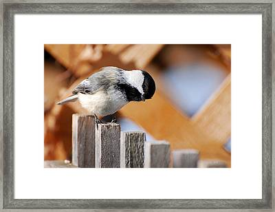Curious Chickadee Framed Print