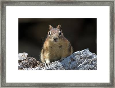 Framed Print featuring the photograph Curious Chipmunk by Chris Scroggins