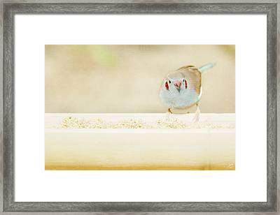 Curious Cordon Bleu Finch  Framed Print by Lisa Knechtel