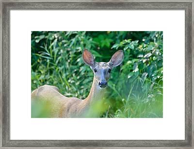Curious Doe Framed Print