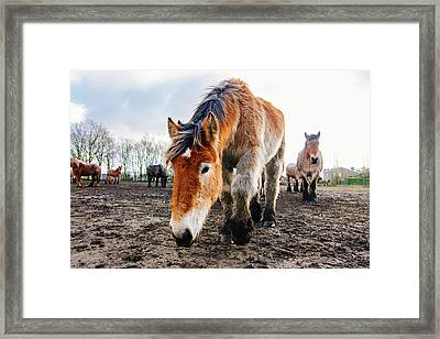 Curious Draft Horse Framed Print by Pati Photography