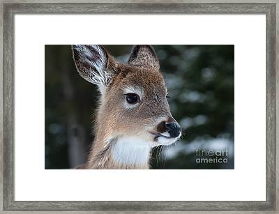 Framed Print featuring the photograph Curious Fawn by Bianca Nadeau