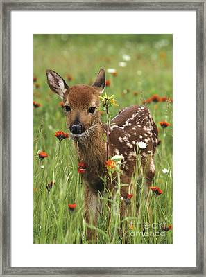 Curious Fawn Framed Print by Chris Scroggins