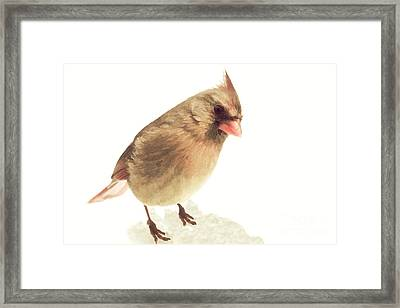 Curious Female Cardinal II Framed Print by Heidi Piccerelli
