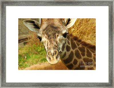 Curious Giraffe Framed Print by Micah May
