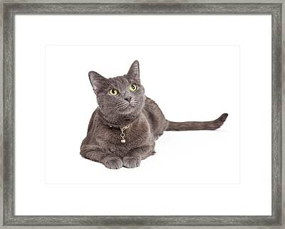 Curious Grey Domestic Shorthair Cat Looking Up Framed Print