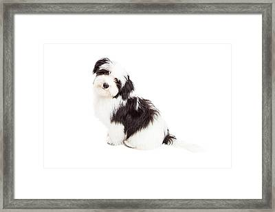 Curious Havanese Dog Sitting Framed Print by Susan Schmitz
