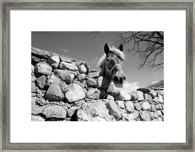 Curious Horse Framed Print by Thomas Shanahan