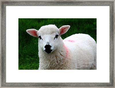 Curious Lamb Framed Print