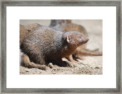 Curious Mongoose Framed Print