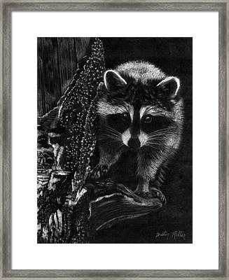 Curious Raccoon Framed Print