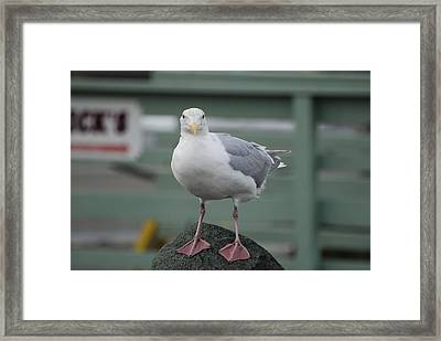 Curious Seagull Framed Print by Kathy Paynter