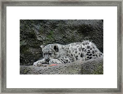 Curious Snow Leopard Cub Framed Print