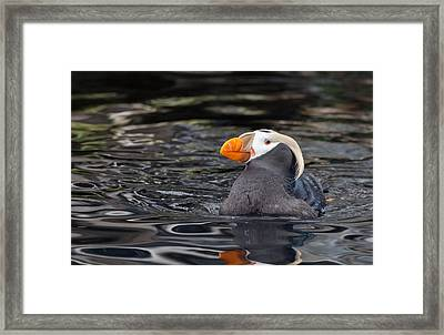 Curious Tufted Puffin Framed Print by June Jacobsen