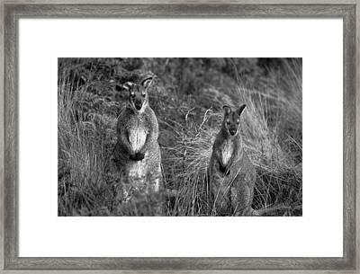 Curious Wallabies Framed Print by Sean Davey