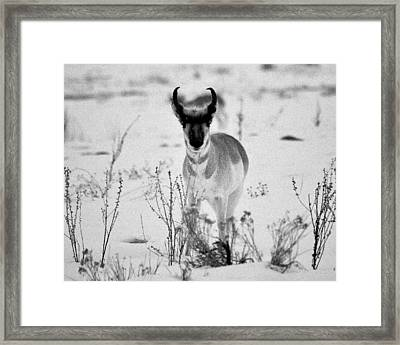 Curious Framed Print by William Alsobrook