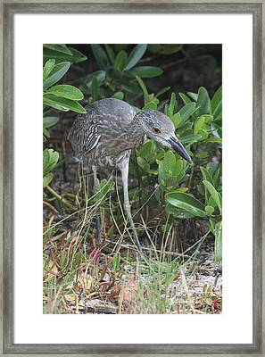 Curiously Night Heron Chick Framed Print