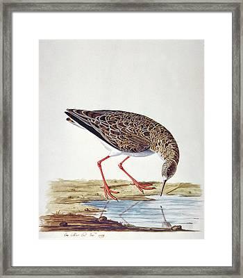 Curlew Sandpiper Framed Print