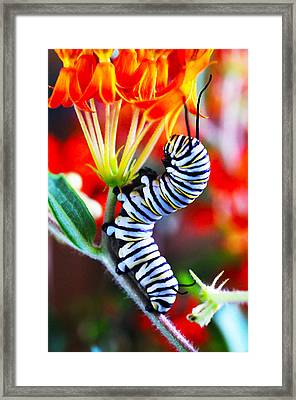 Curly Caterpiller Framed Print by Betsy Straley