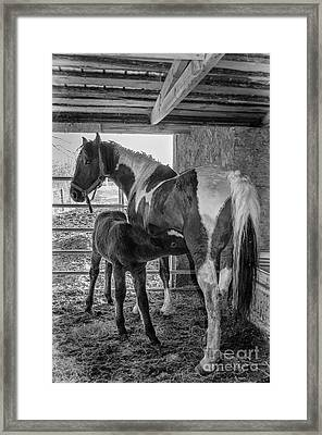 Curly Horse And Nursing Foal Framed Print