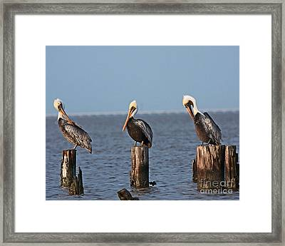 Curly Moe And Larry Pelicans Framed Print