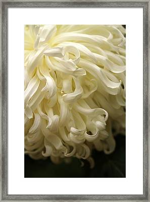 Curly Petals Framed Print by Jacqui Collett